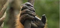 Macacos especiais – ou: como um consultor explicaria a origem do dedão
